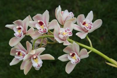 $10 Off Cymbidium Orchid Sprays!